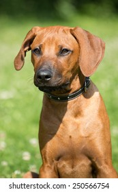 Portrait of nice rhodesian ridgeback puppy