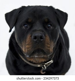 Portrait of nice Rottweiler isolated on white.