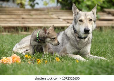 Portrait of nice Saarloos Wolfhound with puppy