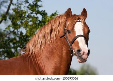 Portrait of nice welsh pony