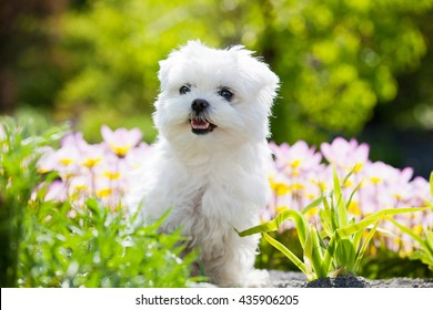 Portrait of nice young maltese dog