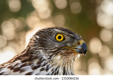Portrait of Northern goshawk, Accipiter gentilis, young bird with bright yellow eyes and bill against nice golden, abstract circular blur bokeh  background. Bird of prey. Highlands, Czech republic.