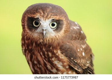 Portrait of northern hawk owl