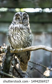 Portrait of the northern hawk-owl (Surnia ulula), a medium sized true owl of the northern latitudes sitting on the branch of tree. Estonia, North Europe