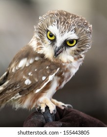 Portrait of Northern Saw-Whet Owl