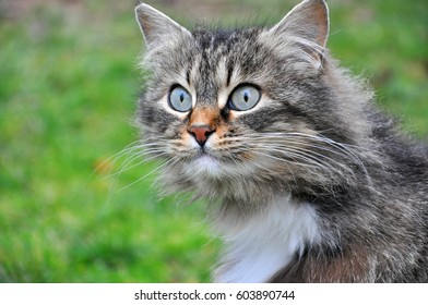 Portrait of  Norwegian Cat, Fluffy grey cat eyes