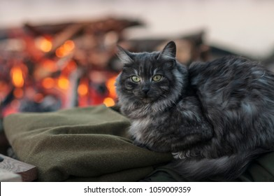 Portrait of the Norwegian Forest Cat. Warm fire in the background. Beautiful long hair grey cat sitting on a green blanket.