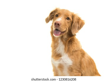 Portrait of a nova scotia duck tolling retriever looking away with mouth open isolated on a white background