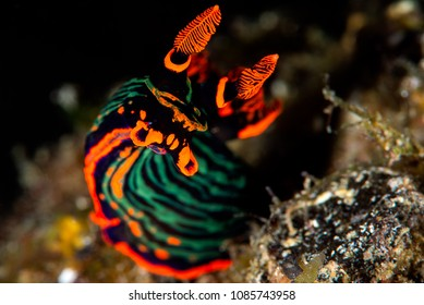 Portrait of nudibranch which have black, orange and green color