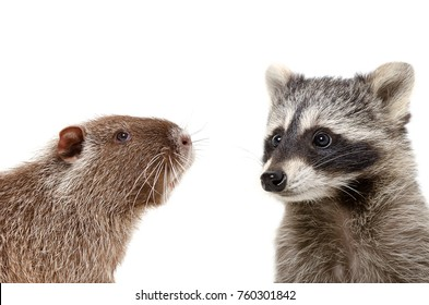Portrait of  nutria and raccoon, closeup, isolated on white background