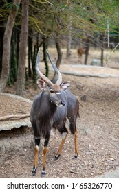 Portrait Of Nyala, Animal From South Africa