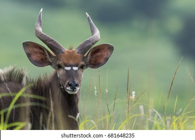 Portrait of a Nyala (Tragelaphus angasii) in tall grasses