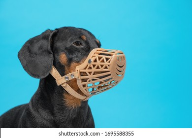 Portrait of obedient dachshund in beige silicone basket muzzle on blue background. Rules for safe walking dogs with bad behavior and character, and to prevent biting and chewing food waste in street