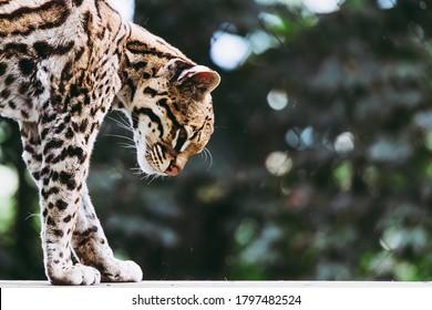 Portrait of an ocelot - American feline - Leopardus pardalis