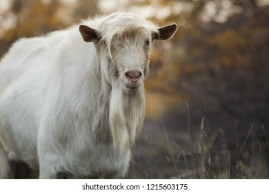 portrait of an old bearded goat with a bang grazing with a herd in nature, wild animal, concept of cattle griculture