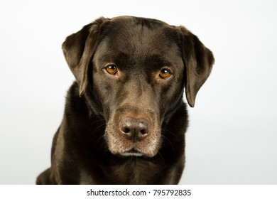 Portrait of an old brown labrador dog, staring into the camera. in front of an white background
