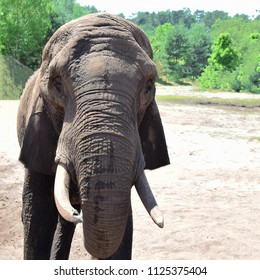 Portrait of old elephant standing on sand and looking at camera on green blurred trees background with copy space for text in very hot summer day.