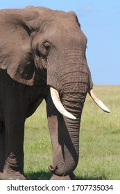 Portrait of an old elephantbull with big tusks in the short yellow-green dry grass of the savannah, in the background deep blue sky