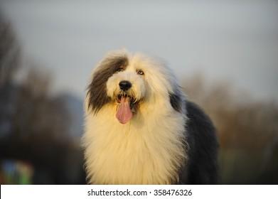 Portrait of Old English Sheepdog