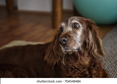 Portrait of an old Irish setter dog with white hair around its face and red hair on its body looking up, wooden floor and green ball in the blurry background. Captured in a loving family home.