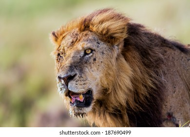 Portrait of the old Lion Clawed, Marsh Pride, in Kenya, Masai Mara