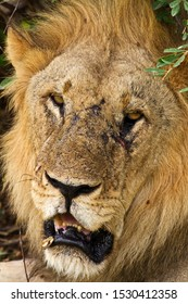 Portrait of an old pride male bearing the scars of many battles during his violent life