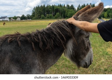 Portrait of an old sad donkey. Close-up of the donkey's head. Man's hand stroking the donkey's head. An old hippie pet with a mane and a beard. Pets on the eco farm feeding on green grass.