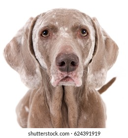 Portrait of an old Weimaraner dog with vitiligo against a white background