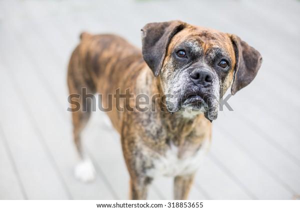 Portrait of an older brindle boxer dog