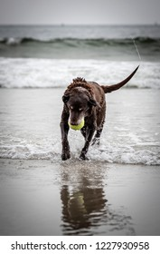 Portrait of an older chocolate Labrador playing in the surf with spray coming off wagging tail.