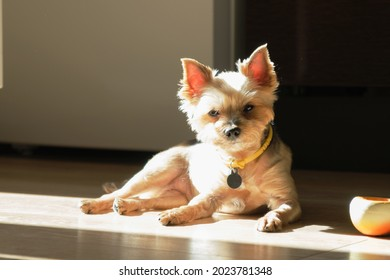 Portrait of older Yorkshire terrier. Small dog is resting on the floor in apartment in morning sun. Devoted look into the camera, real emotions of pet. Yorkshire Terrier with on-classic haircut.