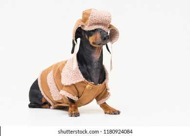 portrait on a cute dog breed dachshund, black and tan,  in winter clothes, fur hat, fallen on eyes, and sheepskin coat, isolated on gray background. Winter theme cold dog clothes christmas new year
