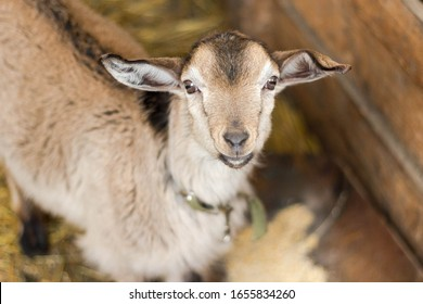 portrait of one brown young goat standing in a stall and looking into the frame