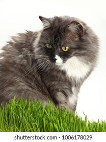 Portrait of one cute gray domestic cat looking down alerted at fresh green grass over white background, close up, low angle view