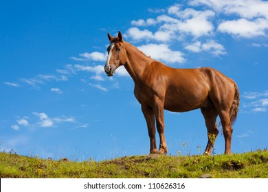 Portrait of one fierce quarter horse standing on a green hill taken from a lower angle