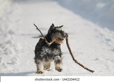 Portrait of one funny snowy playful black miniature zwerg schnauzer dog playing happily outside on sunny frosty winter day in city park. Image of dog running fast with tree branch holding in mouth.
