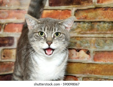 Portrait of one gray domestic tabby short hair cat with light green eyes, looking at viewer. Standing in front of a textured brown and red brick wall, mouth open as if talking.