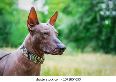portrait of one mexican hairless dog of xoloitzcuintli (xolo)  breed in a collar,outdoors on summer sunny day