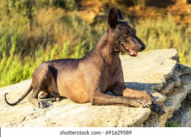 portrait One Mexican hairless dog (xoloitzcuintli, Xolo) lies on a large stone at sunset
