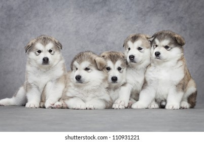 Portrait of one month old alaskan malamute puppy closeup