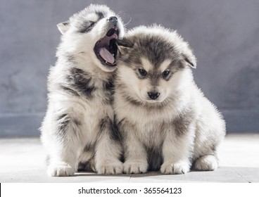 Portrait of one month old alaskan malamute puppys closeup in studio