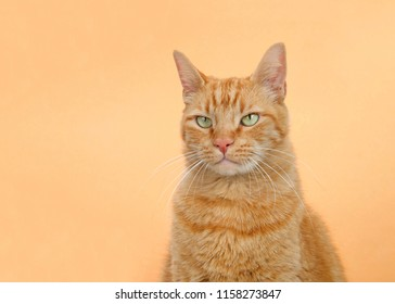 Portrait of one orange tabby ginger cat on an orange background. Looking to viewers left with serious observing expression. Copy space.