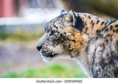 Portrait from one side of a beautiful and rare Snow Leopard in captivity at the zoo. Vulnerable species.