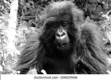 Portrait one wild mountain gorillas in black and white in Uganda Africa