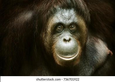 Portrait of an Orang utan, Malaysia