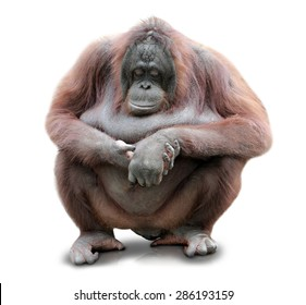 A portrait of an Orang Utan sitting on white background