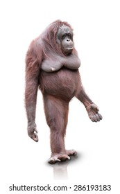 A portrait of an Orang Utan standing on white background