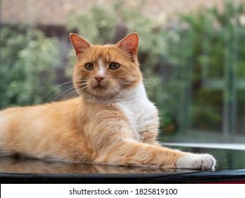 Portrait of an orange cat