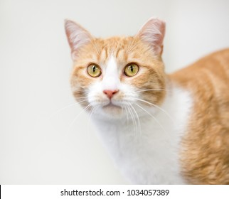 Portrait of an orange and white tabby domestic shorthair cat with its ear tipped to indicate that it has been spayed or neutered and vaccinated