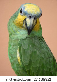 Portrait of an orange-winged amazon (Amazon amazonica) with a salmon colored background